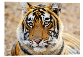 Cuadro de metacrilato  Lying Royal Bengal Tiger in Portrait - Jagdeep Rajput