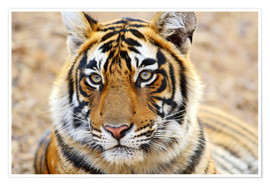 Póster  Lying Royal Bengal Tiger in Portrait - Jagdeep Rajput