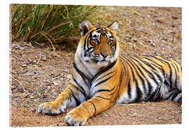 Cuadro de metacrilato  Royal Bengal Tiger sitting outside grassland - Jagdeep Rajput