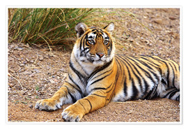 Póster  Royal Bengal Tiger sitting outside grassland - Jagdeep Rajput