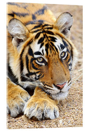 Cuadro de metacrilato  Portrait of Royal Bengal Tiger - Jagdeep Rajput