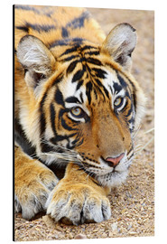 Aluminio-Dibond  Portrait of Royal Bengal Tiger - Jagdeep Rajput