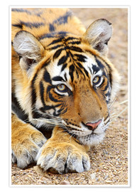 Póster  Portrait of Royal Bengal Tiger - Jagdeep Rajput