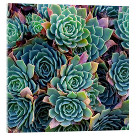 Metacrilato  Echeverias seen from above - David Wall