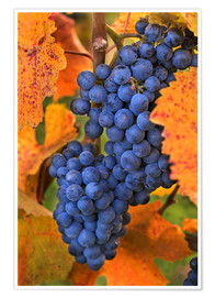 Póster  Grapes with autumn leaves - Janis Miglavs