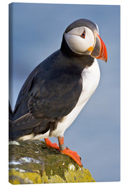 Lienzo  Atlantic Puffin - Ralph H. Bendjebar