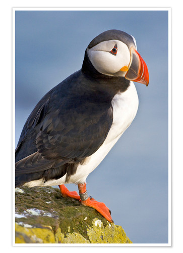 Póster Atlantic Puffin