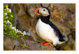 Póster Puffin in breeding plumage