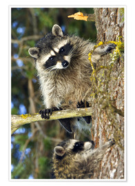 Póster  Raccoons climbing on a tree trunk - Roddy Scheer