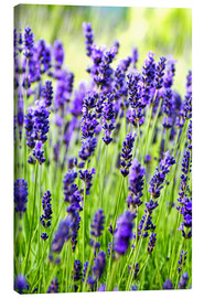 Lienzo  Close up of lavender flowers in a field - Rob Tilley