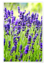 Póster  Close up of lavender flowers in a field - Rob Tilley