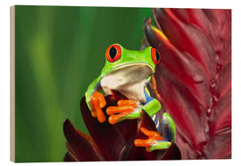 Madera  Red-eyed tree frog on a leaf - Adam Jones