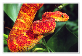 Póster  Red bush viper between leaves - David Northcott