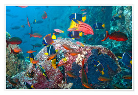 Póster  Galapagos Islands - the underwater world of colorful tropical fish - Paul Souders
