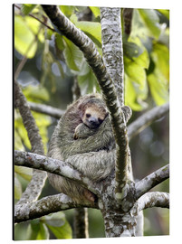 Aluminio-Dibond  Three-toed sloth rests in a tree - Don Grall