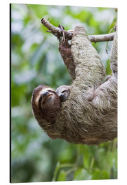 Aluminio-Dibond  Sloth with baby on branch - Jim Goldstein