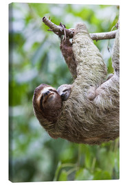 Lienzo  Sloth with baby on branch - Jim Goldstein