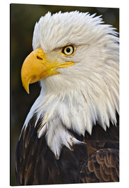Cuadro de aluminio  Head of a bald eagle - Adam Jones