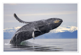 Póster  Humpback Whale in Frederick Sound - Paul Souders
