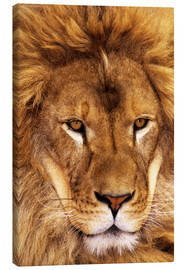 Lienzo  Portrait of African lion - Dave Welling