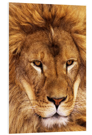 Forex  Portrait of African lion - Dave Welling