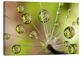 Lienzo  Water drops on a dandelion - Christopher Talbot Frank