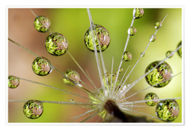 Póster  Water drops on a dandelion - Christopher Talbot Frank