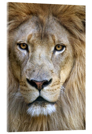 Metacrilato  Portrait of a lion in the Sacramento Zoo - Tananarive Aubert