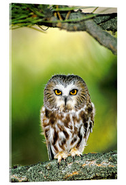 Cuadro de metacrilato  Northern saw-whet owl - Dave Welling