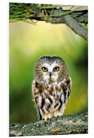 Cuadro de PVC  Northern saw-whet owl - Dave Welling