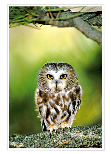 Póster Northern saw-whet owl