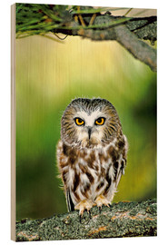 Cuadro de madera  Northern saw-whet owl - Dave Welling
