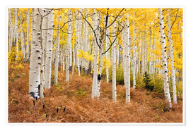 Póster  Aspen forest and ferns in autumn - Don Grall