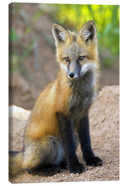 Lienzo  Close-up of red fox kit near den site - Don Grall