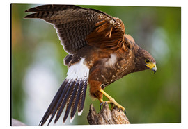 Cuadro de aluminio  Harris hawk with outstretched wings - Larry Ditto