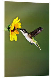 Cuadro de metacrilato  Ruby-throated Hummingbird at sunflower - Larry Ditto