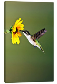 Lienzo  Ruby-throated Hummingbird at sunflower - Larry Ditto