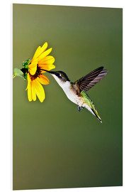 Forex  Ruby-throated Hummingbird at sunflower - Larry Ditto