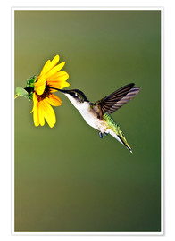 Póster  Ruby-throated Hummingbird at sunflower - Larry Ditto