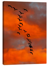 Lienzo  Snow geese flying into the sunset - Cathy & Gordon Illg