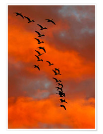 Póster  Snow geese flying into the sunset - Cathy & Gordon Illg