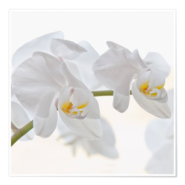Póster White Orchid
