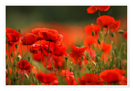 Póster Red Poppy Flowers 14