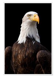 Póster  Bald Eagle - Jan Schuler