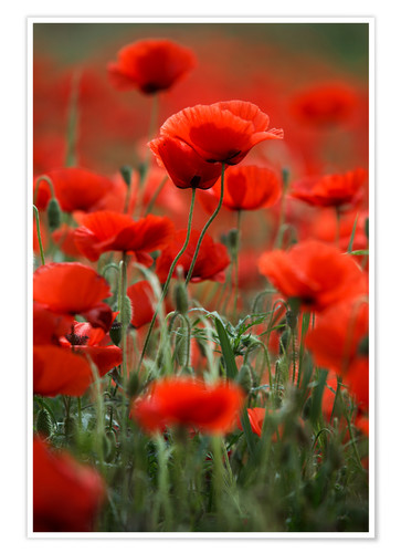 Póster Poppy Meadow