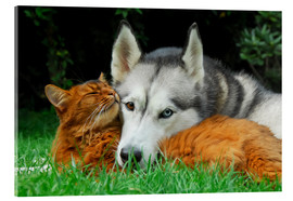 Cuadro de metacrilato  Somali cat and Siberian Husky cuddle up together - Katho Menden