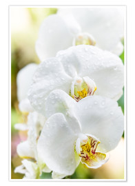 Póster  White Orchid - Suzka