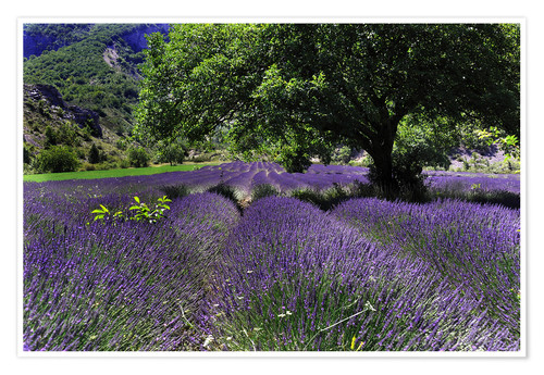 Póster Lavenderfields of Dreams