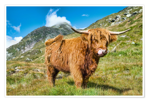 Póster Scottish Highland Cattle