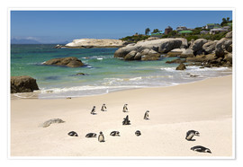 Póster  Penguins at Boulders Beach - Paul Thompson